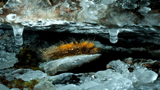 The world's coldest caterpillar