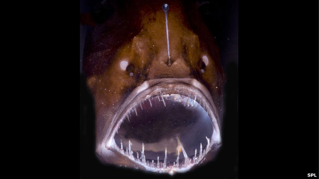 Bbc news ocean trench take a dive 11000m down anglerfish predator in the deep sciox Image collections