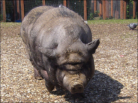 http://www.bbc.co.uk/blogs/jeffzycinski/pot-bellied-pig.jpg