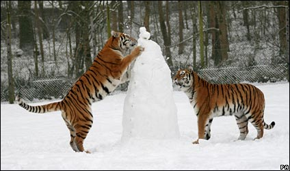tigerinthesnow.jpg