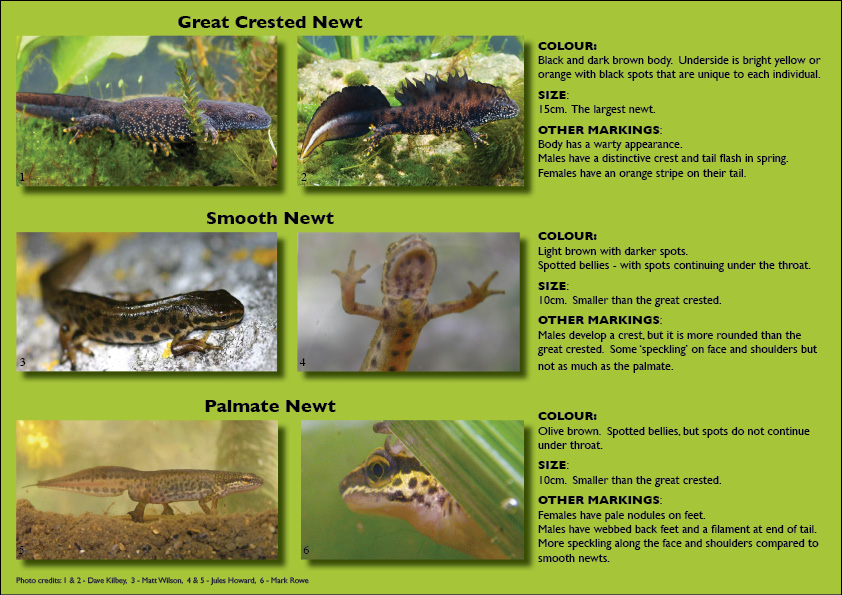BBC - Nature UK: Getting to know your newts