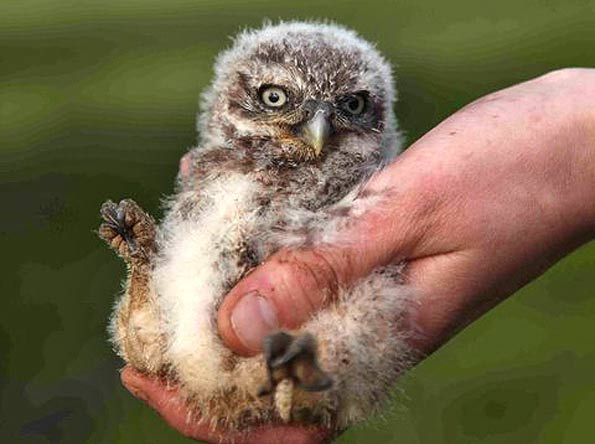 A juvenile little owl held in the palm of a hand