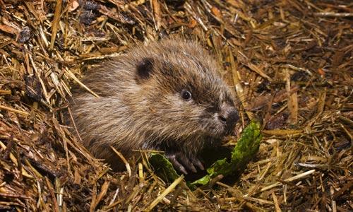 Beaver Three Kits