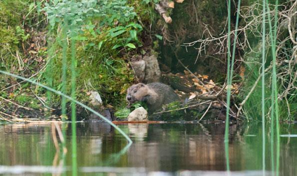 Beaver on the bank copyright Scottish Wildlife Trust