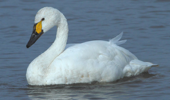 Favourite British bird? Bewick-swan-sb2