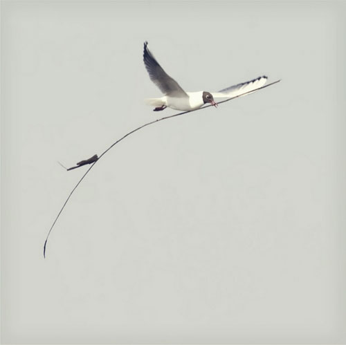 Black headed gull by Emma Brown / Black Cat Photos