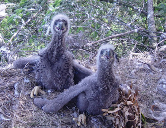 White-tailed sea eagle chicks