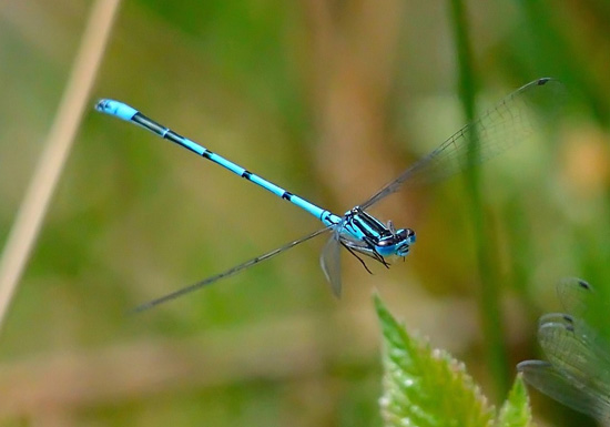 blue_damselfly