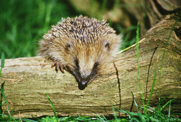 Hedgehog on a log by Steven Oliver