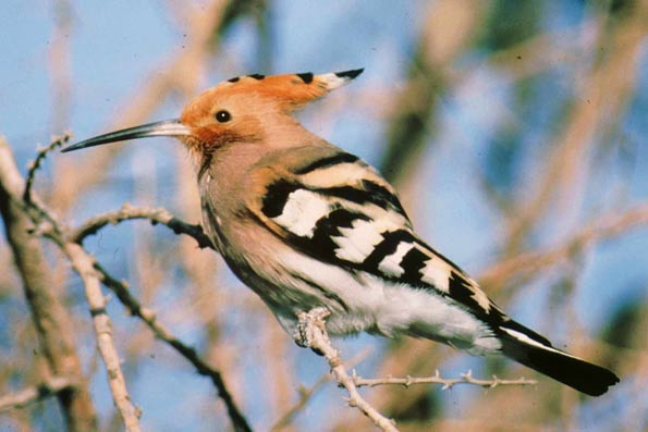 Hoopoe copyright Paul Doherty/BTO