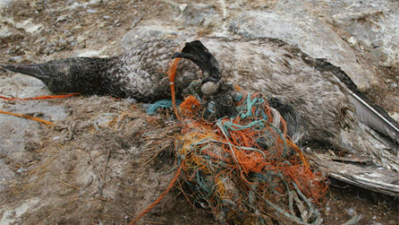 Plastic entwines around their legs and wings causing death - image by RSPB Cymru