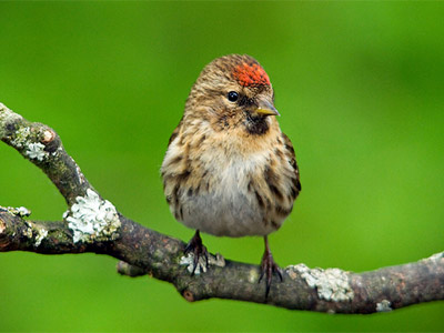 Lesser redpoll by Dave Hill