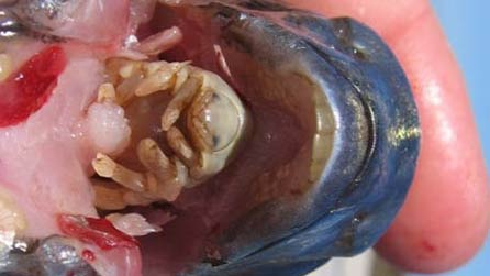 Bbc blogs wales tongue eating parasite for Parasite that eats fish tongue