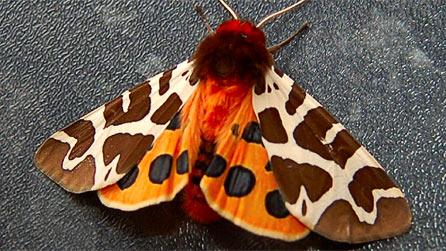tiger_moth1.jpg