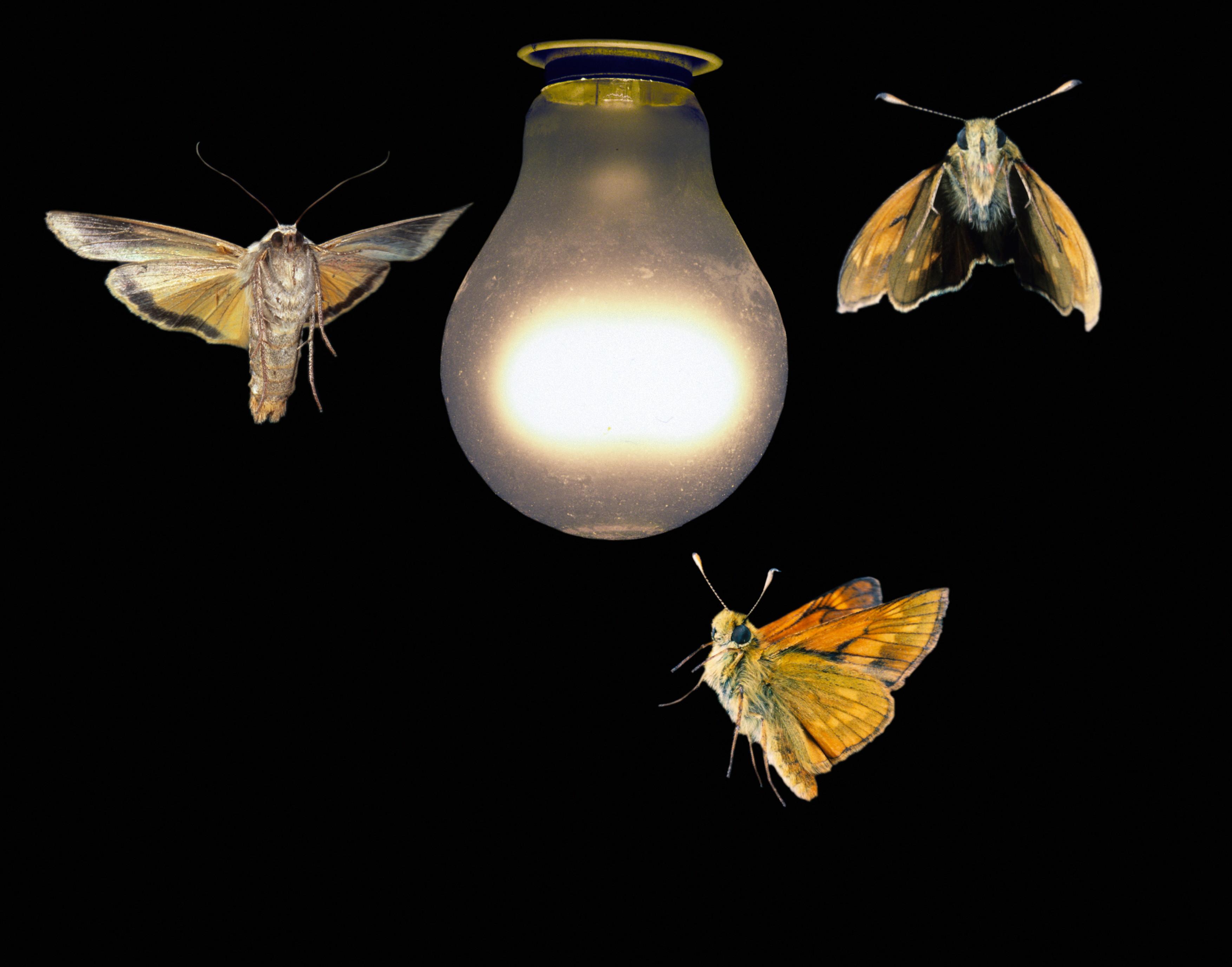 Moth vs. Man