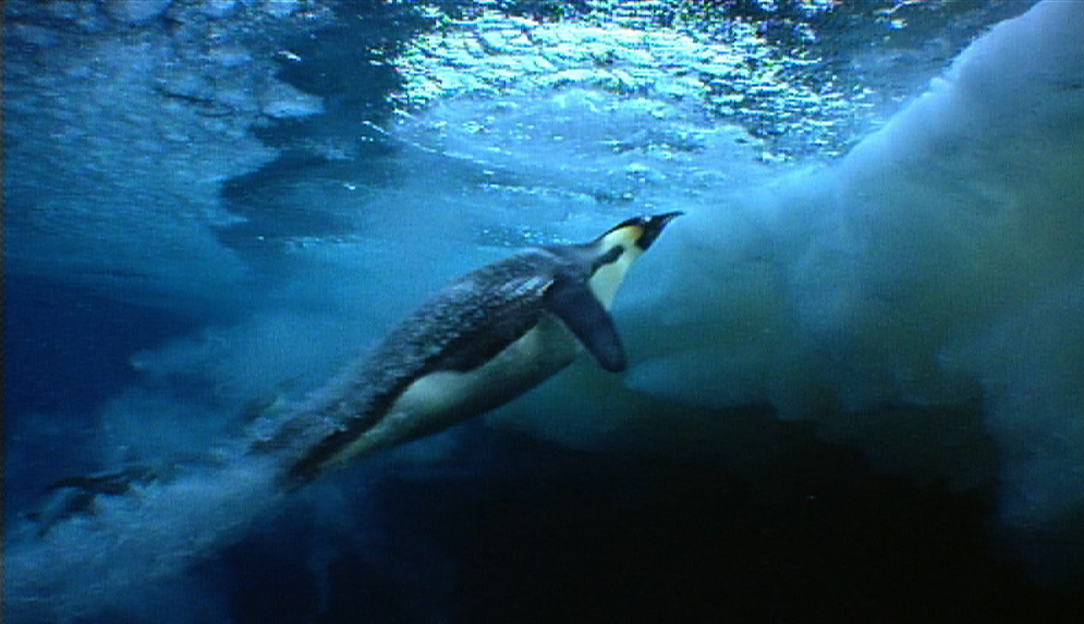 Emperor Penguins Swimming Images & Pictures - Becuo