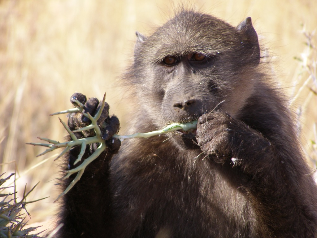 What Food Do Primates Eat