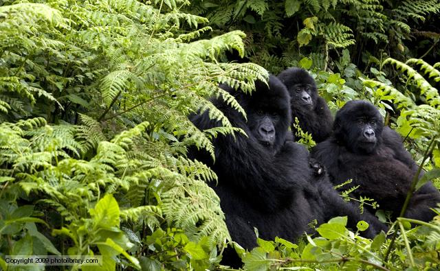 Can we see a little of ourselves in a gorilla family? (photolibrary ...