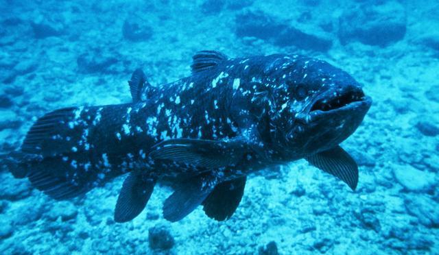BBC - Wonder Monkey: Coelacanth slowly reveals its secrets