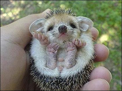 Image result for hedgehog silly