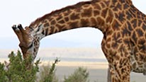 A giraffe feeding