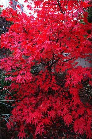 japanese_maple_sibley_300x450.jpg