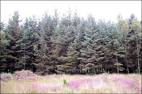 What to look out for at Haldon Forest: Sitka Spruce.