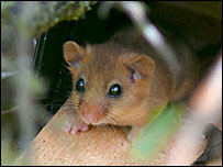 A dormouse in Manaton
