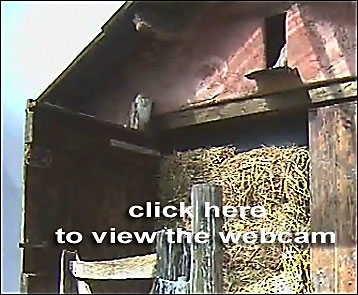 BBC - Devon - In Pictures - Barn owl webcam