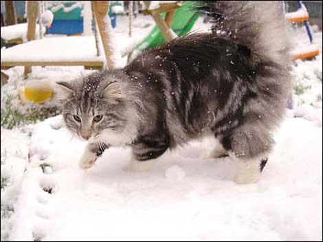 http://www.bbc.co.uk/essex/content/images/2007/02/08/cat_snow_470_470x352.jpg