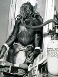 Chimpanzee subjected to testing
