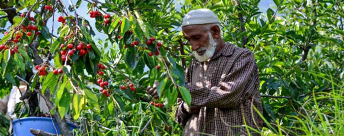 farmer checking a fruit plant