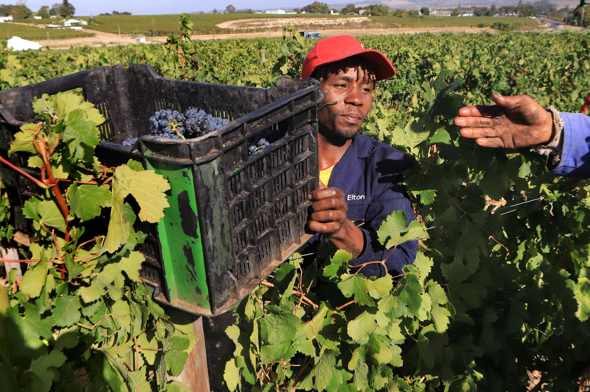 guy in the field with a box of grapes