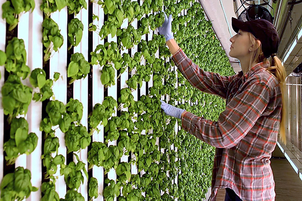 farmer in vertical farm (Credit: BBC)