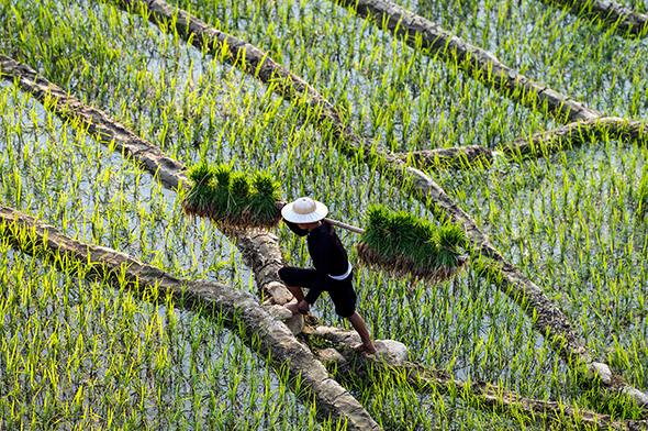 Farmer in paddy field (Credit: Getty Images)