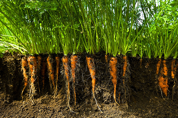Carrots in soil (Credit: Getty Images)