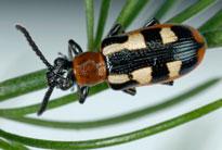 [Image: asparagus_beetle_adult.jpg]