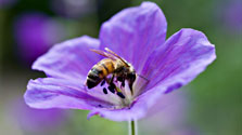 a bee on a geranium