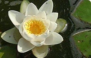 external image nymphaea_alba.jpg