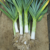 leeks plant - photo #31