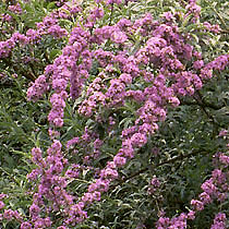 Common name weeping butterfly bush