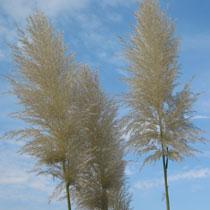 bbc gardening plant finder pampas grass. Black Bedroom Furniture Sets. Home Design Ideas