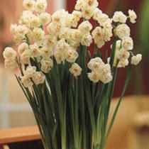 Bbc Gardening Plant Finder Daffodil