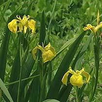 Picture Iris Flower on Bbc   Gardening  Plant Finder   Yellow Flag