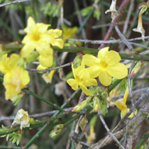 bbc gardening plant finder winter jasmine. Black Bedroom Furniture Sets. Home Design Ideas