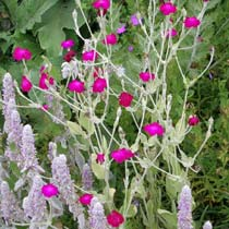 BBC - Gardening: Plant Finder - Rose campion