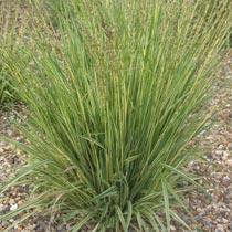 PLANTAS PERENNES PARA EL OTOÑO Molinia_caerulea_subsp_caerulea_variegata