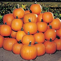 Pumpkin 'Jack of All Trades'