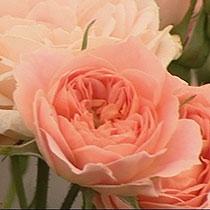 Clasificación de los rosales Rosa_sweet_dream
