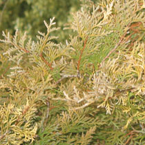 Thuja occidentalis 'Ellwangeriana Aurea'